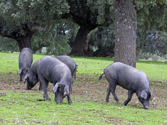 Iberico varkens in een dehesa in Extremadura (Spanje)