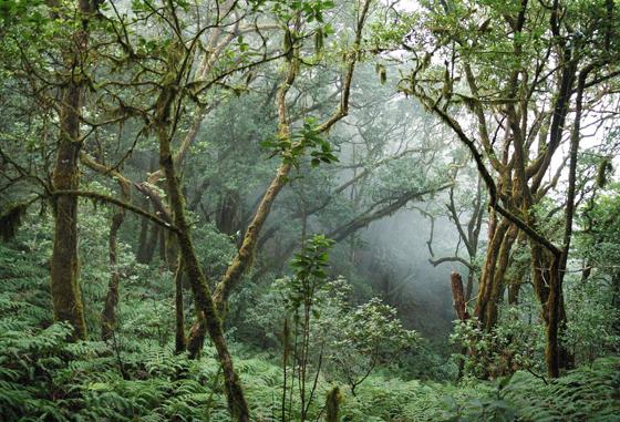 Laurierbossen op La Palma