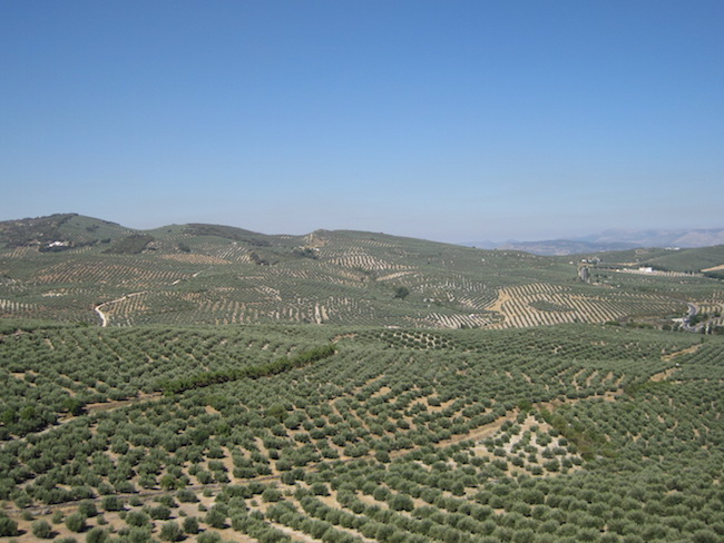 olijfbomen in de provincie Jaén in Andalusië