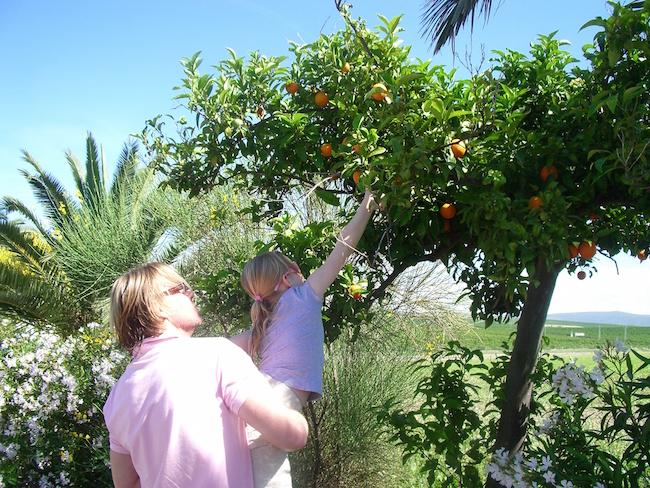 Sinaasappelen plukken in Andalusië