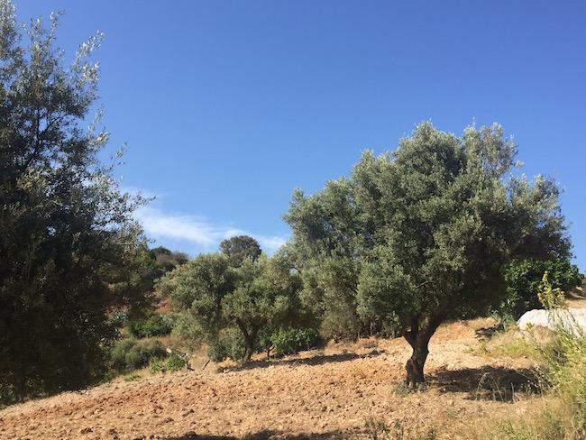 Olijfbomen in de baai Cala del Cañuelo in Málaga (Andalusië)