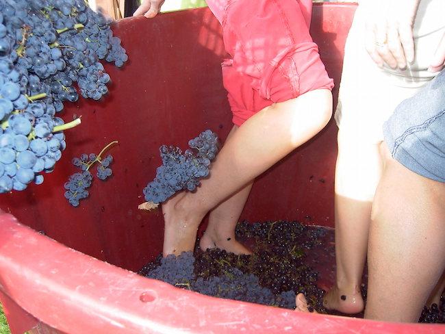 Druiven stampen bij hotel bodega Tudanca in wijngebied Ribera del Duero in Castillië en Leon (Midden Spanje)
