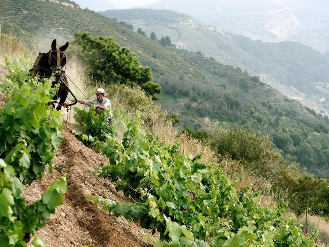 Handmatig ploegen met muildier in wijnstreek Priorat (Catalonië)