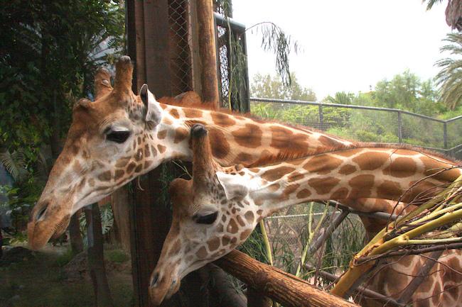 Giraffen kijken in Oasis Park tijdens een vakantie op Fuerteventura