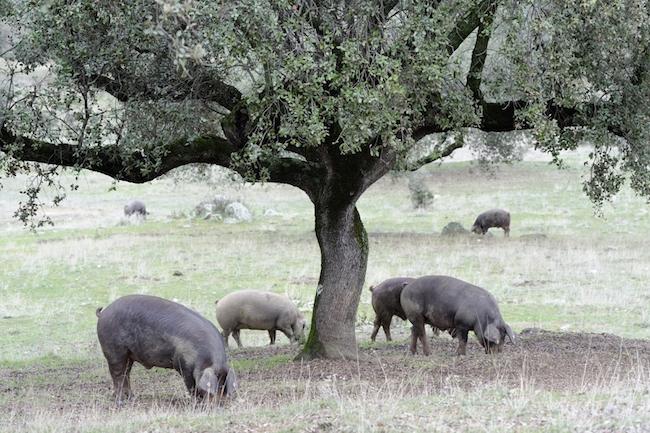 Een typisch plaatje in Extremadura: Iberische varkens onder een steeneik - Foto: Gertjan de Zoete