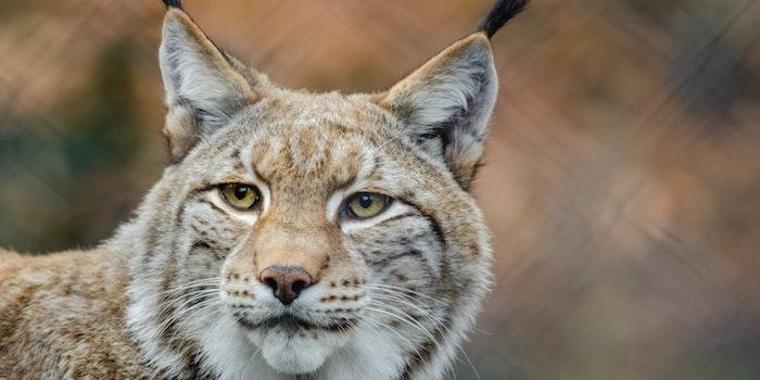 Een lynx - een van de dieren in dierenopvangcentrum Basondo in Urdaibai (Baskenland, Noord Spanje)