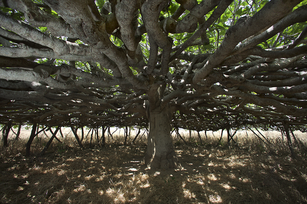 unieke pijnbomen op Formentera
