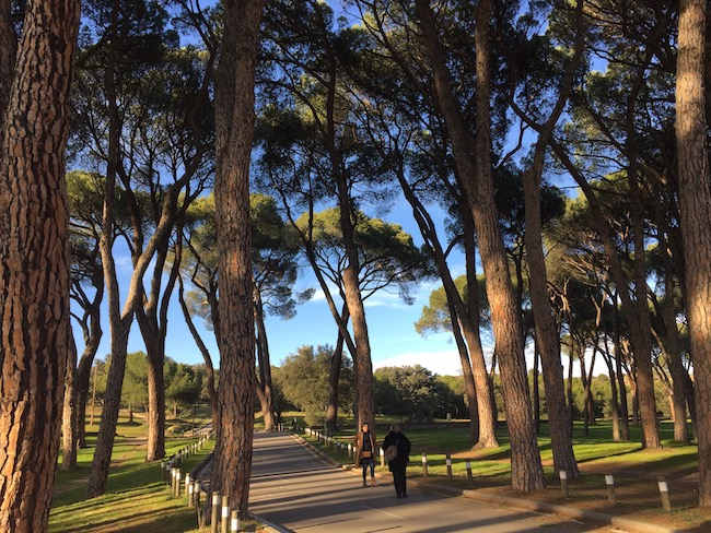 Oude dennenbomen in Casa del Campo Madrid