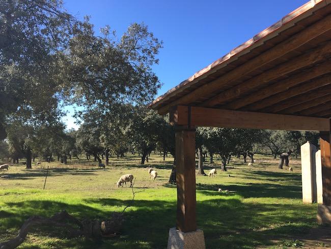 Schapen op landgoed Finca las Abubillas in Monfragüe