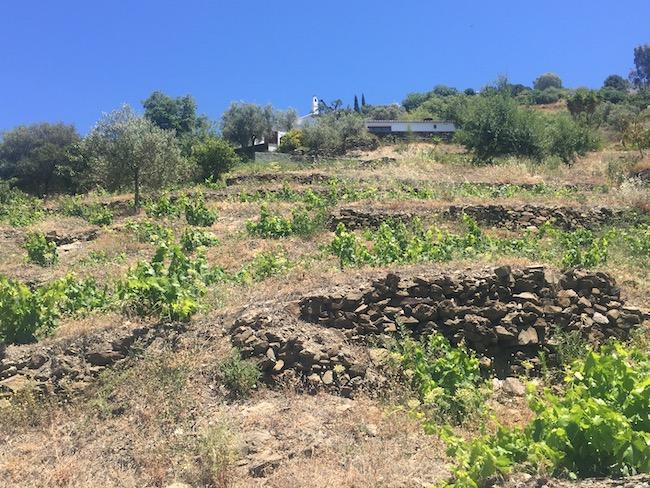 Oude wijnstokken op Bodegas Bentomiz in Zuid Spanje