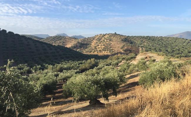 Het olijfbomenlandschap in de provincie Cordoba (Andalusië)