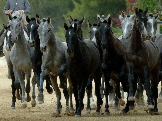 Jonge paarden op Yeguada de la Cartuja buiten Jerez de la Frontera (Cadiz, Andalusië, Zuid Spanje)